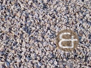 sigay-shellbeads